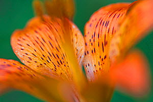 Orange or fire lily (Lilium bulbiferum) detail in old-growth beech forest. Abruzzo, Lazio and Molise National Park / Parco Nazionale d'Abruzzo, Lazio e Molise UNESCO World Heritage Site Italy. Jul...  -  Bruno D'Amicis