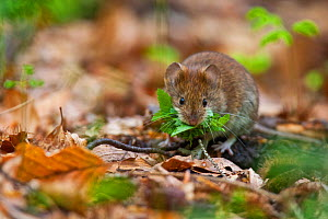 Red vole (Myodes glareolus) collecting leaves from leaf litter in old growth Beech (Fagus sylvatica) forest. Abruzzo, Lazio and Molise National Park / Parco Nazionale d'Abruzzo, Lazio e Molise UNE... - Bruno D'Amicis