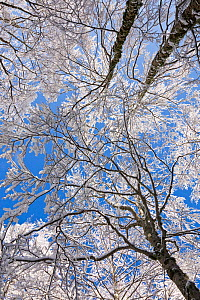 Beech tree canopy (Fagus sylvatica) in Val Cervara old-growth beech forest after snowfall. This is Europe's oldest Beech (Fagus sylvatica) forest. Abruzzo, Lazio and Molise National Park / Parco N... - Bruno D'Amicis