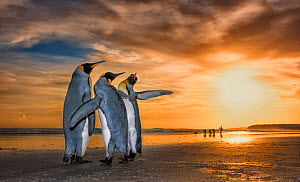 King penguins (Aptenodytes patagonicus) at sunrise. Two males and a female, with the males fighting for the attention of the female. Falklands Islands. 2018 Wildlife Photographer of the Year LUMIX Peo... - Wim van den Heever