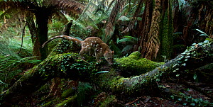 Spotted-tailed quoll (Dasyurus maculatus) scent marking in Monga National Park, New South Wales, Australia. Remote camera, triggered by movement. Highly Commended 2018 Wildlife Photographer Of The Yea...  -  David Gallan