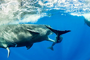 Sperm whale (Physeter macrocephalus) young male trying to copulate with a female. The calf of the female was in the way so the male is trying to chase it away. Dominica.  -  Franco  Banfi