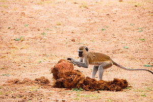 Vervet monkey (Cercopithecus aethiops) foraging for seeds to eat in elephant dung, South Luangwa National Park, Zambia - Eric Baccega