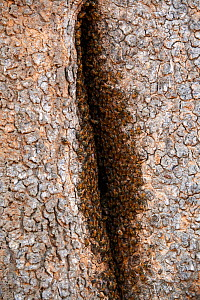 African bee colony (Apis mellifera) on Baobab tree,  South Luangwa National Park, Zambia - Eric Baccega
