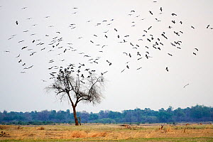 Abdim's stork (Ciconia abdimii) flock on migration arriving in South Luangwa National Park in november for rainy season, Zambia  -  Eric Baccega