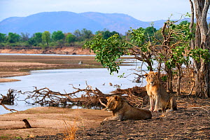 Coalition of two African male lions (Panthera leo) resting on the banks of the Luangwa river, dry season, South Luangwa National Park, Zambia - Eric Baccega