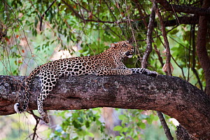 Leopard (Panthera pardus) female resting in tree South Luangwa National Park, Zambia - Eric Baccega