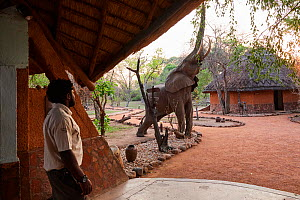 African elephant (Loxodonta africana) walking through Kafunta Lodge main area to feed on wild mango fruit, South Luangwa National Park, Zambia  -  Eric Baccega