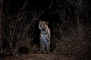 Male leopard (Panthera pardus), Laikipia Wilderness Camp, Kenya. Photographed with a camera trap.  -  Will Burrard-Lucas