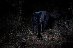 Young male melanistic leopard (Panthera pardus), Laikipia Wilderness Camp, Kenya. Photographed with a camera trap.  -  Will Burrard-Lucas