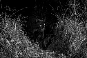 Young male melanistic leopard (Panthera pardus), Laikipia Wilderness Camp, Kenya. Photographed with a camera trap. Black and white.  -  Will Burrard-Lucas