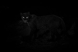 Young male melanistic leopard (Panthera pardus), Laikipia Wilderness Camp, Kenya. Photographed with a camera trap. EDITORIAL USE ONLY. All other uses require clearance  -  Will Burrard-Lucas
