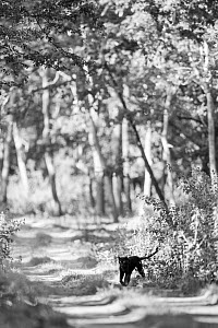 A melanistic leopard (Panthera pardus) on forest track, Kabini Forest, Karnataka, India. Black and White.  -  Will Burrard-Lucas