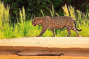 RF- Jaguar (Panthera onca) old male hunting on riverbank, Pantanal, Brazil (This image may be licensed either as rights managed or royalty free.) - Andy Rouse
