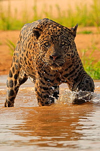 Jaguar (Panthera onca) old male hunting in river, Pantanal, Brazil - Andy Rouse
