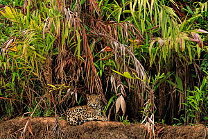 Jaguar (Panthera onca) on riverbank , Pantanal, Brazil - Andy Rouse