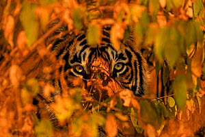 Bengal tiger (Panthera tigris) peering through leaves of bushes, Ranthambhore, India. December - Andy Rouse