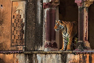 Bengal tiger (Panthera tigris) male Cowboy T91 in old building, Ranthambhore, India . Medium size repro only - Andy Rouse