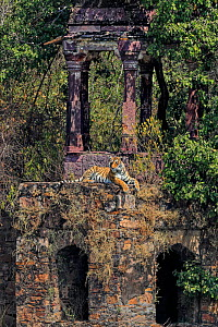 Bengal tiger (Panthera tigris) male Cowboy T91 on ruins of old building, Ranthambhore, India - Andy Rouse