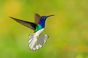 RF- White-necked Jacobin hummingbird (Florisuga mellivora) hovering with tail erect to show aggression , Tobago (This image may be licensed either as rights managed or royalty free.) - Andy Rouse