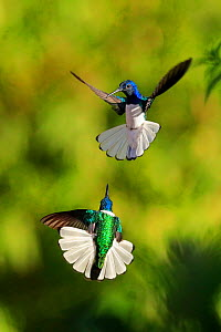 White-necked Jacobin hummingbirds (Florisuga mellivora) fighting, Tobago Small repro only  -  Andy Rouse