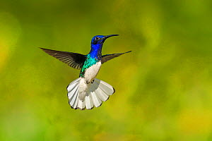 White-necked Jacobin hummingbird (Florisuga mellivora) hovering with tail erect to show aggression , Tobago  -  Andy Rouse