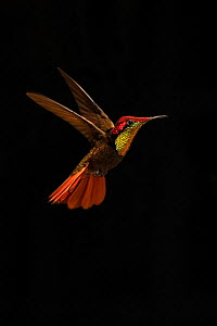 Ruby Topaz hummingbird (Chrysolampis mosquitus) hovering, Tobago. Medium size repro only  -  Andy Rouse