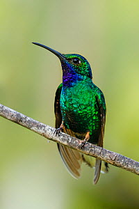 White-tailed Sabrewing hummingbird (Campylopterus ensipennis) perching, Tobago  -  Andy Rouse