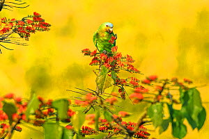 Orange-winged parrot (Amazona amazonica) feeding on flowering Immortelle tree, Tobago  -  Andy Rouse