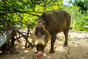 Bearded pig (Sus barbatus) foraging for crabs on beach, Bako National Park, Sarawak, Borneo - Paul Williams