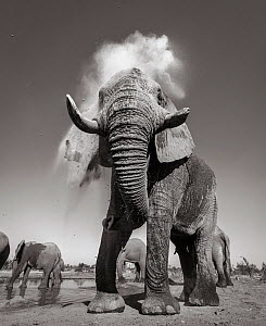 Black and white image of African elephant (Loxodonta africana) bull dust bathing, Tsavo Conservation Area, Kenya. Taken with a remote camera buggy / BeetleCam. Editorial use only. Other uses need clea...  -  Will Burrard-Lucas