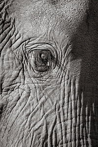 Black and white image of African elephant (Loxodonta africana) bull, close up of eye, Tsavo Conservation Area, Kenya. Editorial use only. Other uses need clearance.  -  Will Burrard-Lucas