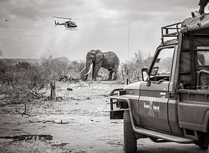 Black and white image of Tsavo Trust vehicle and Kenya Wildlife Service helicopter converge on a African elephant (Loxodonta africana) bull during an operation to place satellite tracking collars on t...  -  Will Burrard-Lucas