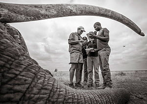 Black and white image of people viewed through sedated African elephant (Loxodonta africana) tusks during radio collaring operation. Tsavo Conservation Area, Kenya. Editorial use only. Other uses need...  -  Will Burrard-Lucas