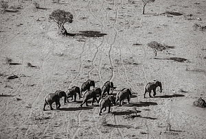 Black and white aerial image of African elephant (Loxodonta africana) herd, Tsavo Conservation Area, Kenya. Editorial use only. Other uses need clearance.  -  Will Burrard-Lucas