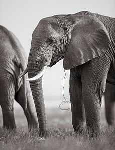 Black and white image of African elephant (Loxodonta africana) portrait with snare attached, Tsavo Conservation Area, Kenya. Editorial use only. Other uses need clearance. - Will Burrard-Lucas