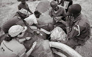Black and white image of people fitting radio tracking collar onto African elephant (Loxodonta africana) Tsavo Conservation Area, Kenya. Editorial use only. Other uses need clearance. - Will Burrard-Lucas