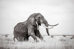 Black and white image of African elephant (Loxodonta africana) with radio collar, Tsavo Conservation Area, Kenya. Editorial use only. Other uses need clearance. - Will Burrard-Lucas