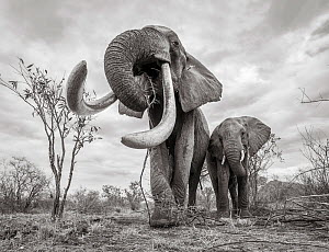 Black and white image of African elephant (Loxodonta africana) females with large tusk feeding, Tsavo Conservation Area, Kenya. Taken with a remote camera buggy / BeetleCam. Editorial use only. Other...  -  Will Burrard-Lucas
