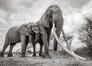 Black and white image of African elephant (Loxodonta africana) female with large tusks and calf, Tsavo Conservation Area, Kenya. Editorial use only. Other uses need clearance.  -  Will Burrard-Lucas