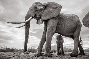 Black and white image of African elephant (Loxodonta africana) female with large tusks, with calf looking between legs.Tsavo Conservation Area, Kenya. Taken with a remote camera buggy / BeetleCam. Edi...  -  Will Burrard-Lucas