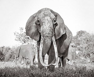 Black and white image of African elephant (Loxodonta africana) female with large tusks, Tsavo Conservation Area, Kenya. Taken with a remote camera buggy / BeetleCam. Editorial use only. Other uses nee...  -  Will Burrard-Lucas