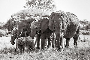 Black and white image of African elephant (Loxodonta africana) herd with calves, Tsavo Conservation Area, Kenya. Editorial use only. Other uses need clearance.  -  Will Burrard-Lucas