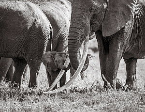 Black and white image of African elephant (Loxodonta africana) herd with calf holding onto adults tusk with trunk. Tsavo Conservation Area, Kenya. Editorial use only. Other uses need clearance.  -  Will Burrard-Lucas