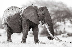 Black and white image of African elephant (Loxodonta africana) female with large tusks, Tsavo Conservation Area, Kenya. Editorial use only. Other uses need clearance. - Will Burrard-Lucas