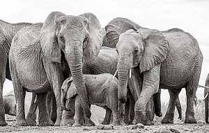Black and white image of African elephant (Loxodonta africana) herd with calf, Tsavo Conservation Area, Kenya. Editorial use only. - Will Burrard-Lucas