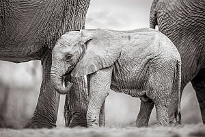 Black and white image of African elephant (Loxodonta africana) calf, Tsavo Conservation Area, Kenya. Editorial use only. - Will Burrard-Lucas