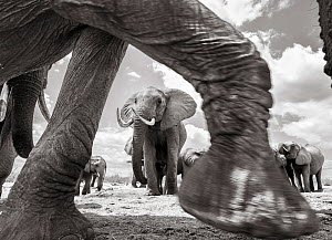 Black and white image of African elephant (Loxodonta africana) walking past herd, Tsavo Conservation Area, Kenya. Taken with a remote camera buggy / BeetleCam. Editorial use only. - Will Burrard-Lucas