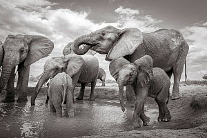 Black and white image of African elephant (Loxodonta africana) herd at waterhole, Tsavo Conservation Area, Kenya. Taken with a remote camera buggy / BeetleCam. Editorial use only. - Will Burrard-Lucas