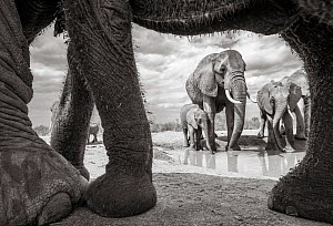 Black and white image of African elephant (Loxodonta africana) herd with calf at waterhole, seen through adults legs. Tsavo Conservation Area, Kenya. Taken with a remote camera buggy / BeetleCam. Edit... - Will Burrard-Lucas